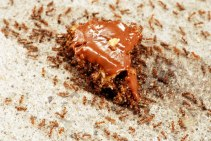cookie-ants